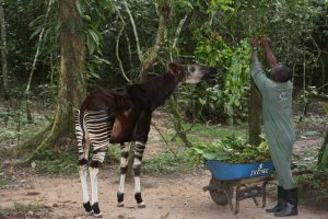 okapi-at-the-ocp-station-in-epulu