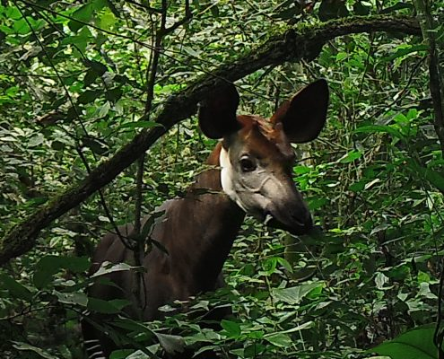 the okapi wildlife reserve The okapi wildlife reserve the okapi conservation project's presence in the region and its role as a coordinator and supporter of the reserve has helped to.