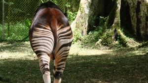 Zoo Network - The Americas | Okapi Conservation Project
